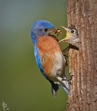 Eastern Bluebird Feeding Chick