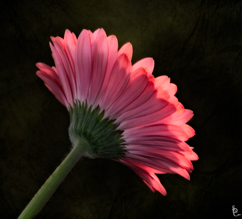 Side view of Gerber Daisy.