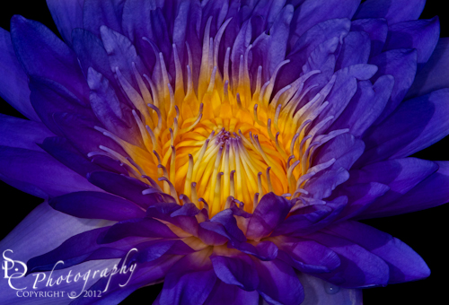 Glowing Waterlily