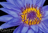 Tropical Day Flowering Waterlily