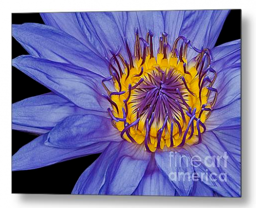 water lily fine art metal print