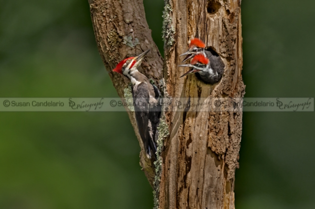 Pilated Woodpecker Family