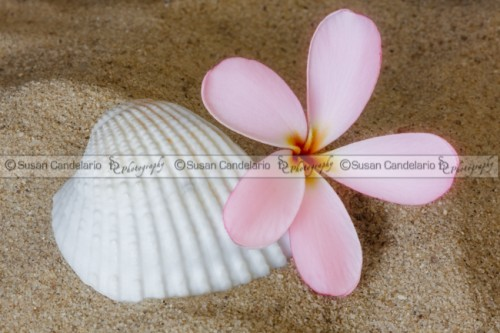 Plumeria Flower And Sea Shell