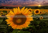 Sunflower Fields Forever
