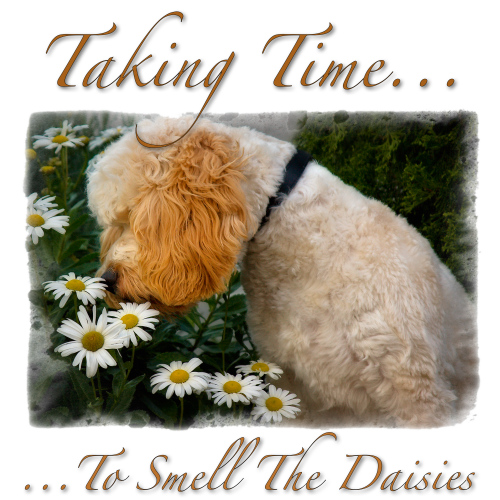 cockapoo-taking-time-to-smell-the-daisies